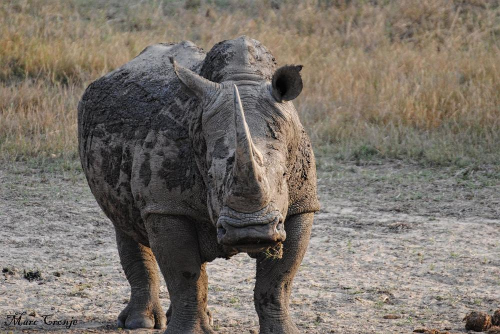 Easiest way to distinguish black from white rhino? Their mouths. The white rhino's mouth is straight across, perfect for ground grazing. Black rhinos browse bushes and shrubs, their mouths are more pointed. Image: ©Marc Cronje, Independent Field Guide. Kruger National Park, South Africa