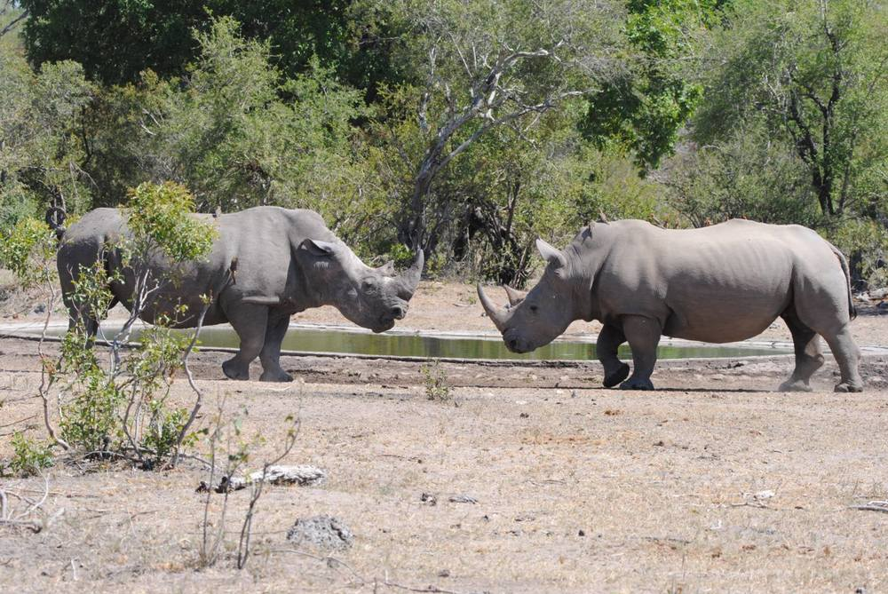 An early winner in rhino conservation, Kruger National Park has recently suffered a rise in poaching. They introduced special anti-poaching dogs to help. above two white rhino males face off. Destination: Kruger NP, South Africa. Image:© Marc Cronje, Independent Field Guide.