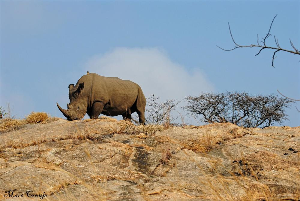 White rhino (and avian friend) in Kruger National Park. Image: © Marc Cronge, Independent Field Guide. There has been rhino poaching even in the park. So far this one has been lucky.