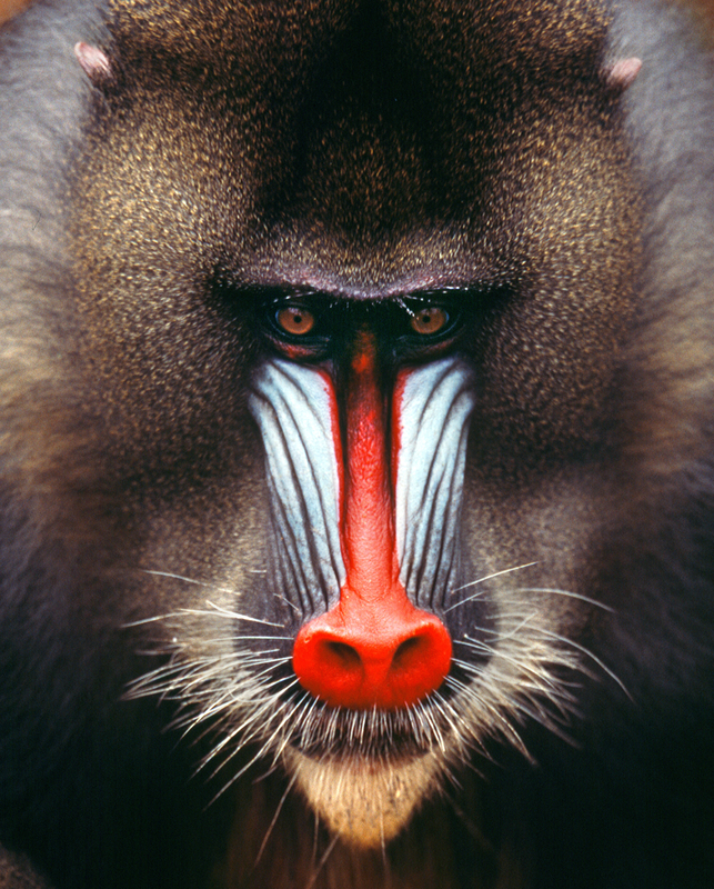 Mandrill monkey, the largest and most colorful of all the monkey species can be found in Gabon. Image:  ©Ivonov⎮Dreamstime.com