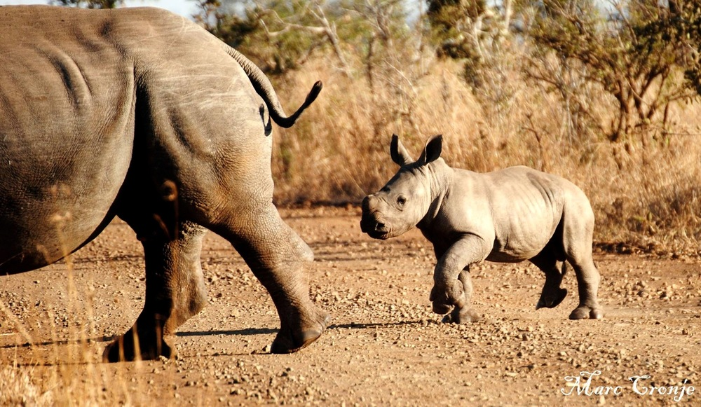 A white rhino keeps her baby behind her, while a black rhino baby walk in front of it's mother Image: ©Marc Cronje Independent field guide.   Destination: Kruger National Park, South Africa