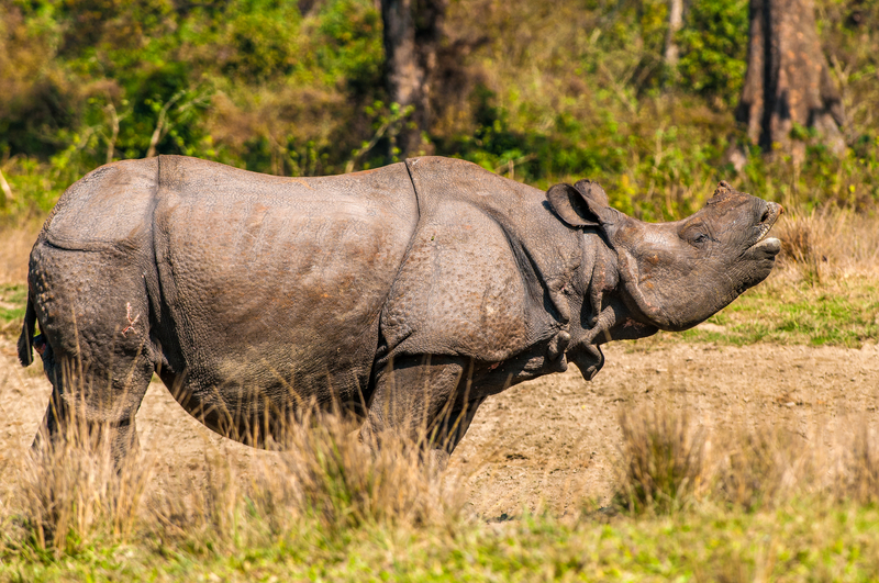 Asian rhino species have 3 pronounced skin folds like this greater one-horned or Indian rhino. Destination: Jaldapara National Park, India  Image:  ©NilanjanBhattachrya ⎮Dreamstime