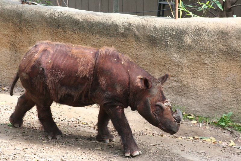 The Sumatran rhino is the smallest and hairiest of the five rhino species - and thought to be the closest relative of the ice-age's wooly rhino. Image:  © Fischer1082⎮Dreamstime.com