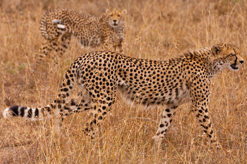 The cheetah is the fastest land animal, but a super fast metabolism causes them to over-heat quickly. That's good for viewers, not so good for the cats, Their dinner is often stolen by less exhausted competitors before they can eat it.  Destination: Ol Pejeta Conservancy, kenya Image: Charliecazalet dreamstime.com
