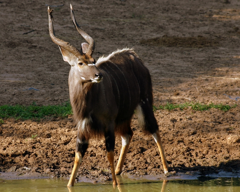 A magnificent nyala buck stops to drink at one of the many water holes at this UNESCO Heritage site: uMkuze Game Park, KwaZulu-Natal.  Image: ©Jean_marc ⎮Strydon Dreamstime.com