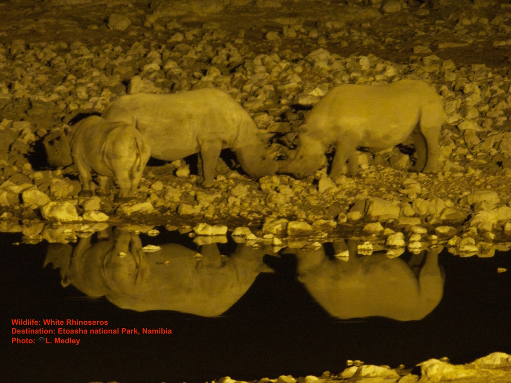 White rhino at the night lighted Okaukuejo water hole in Etosha National Park. Image: ©Lesley Medley