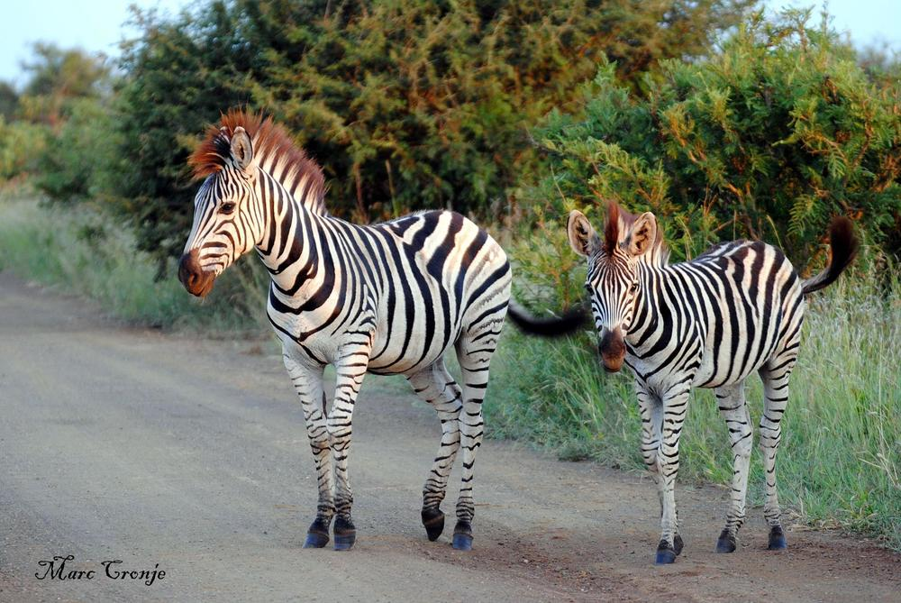 Zebra Crossing.  A plains zebra mother and foal cross the road in Kruger National Park, South Africa. Image: ©Marc Cronje Independent Field Guide, Kruger National Park