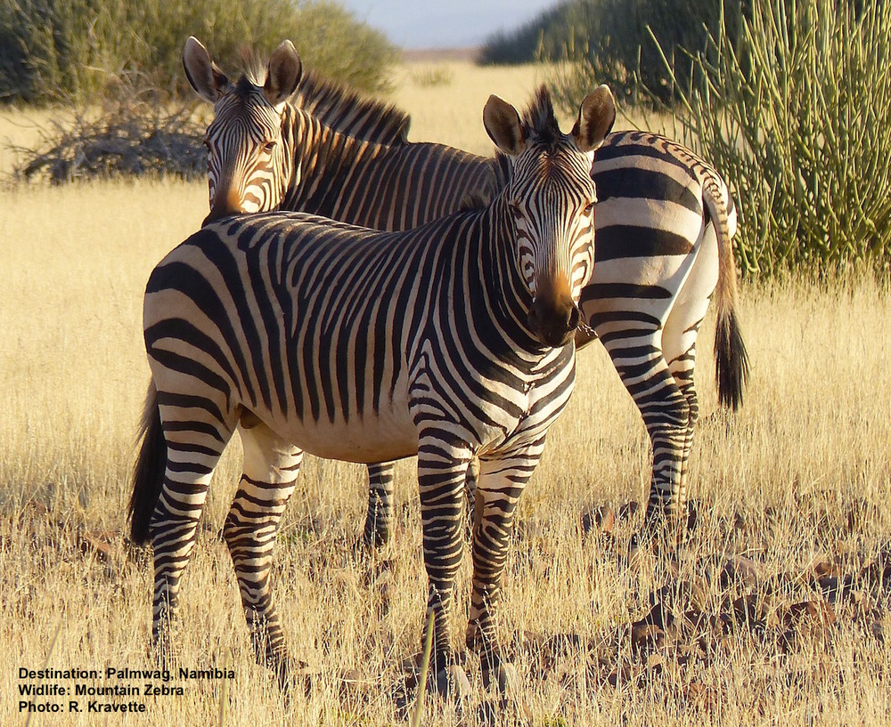 There may be only 1,300 mountain zebras, like these in Damaraland, Namibia, left in the world. Image: ©R. Kravette at the Palmwag Concession, Namibia