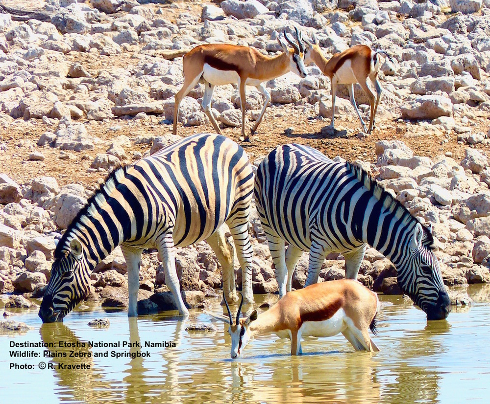 Springbok and (plains) zebra are very comfortable sharing drinking space at the Okaukuejo Rest Camp, Etosha National Park, Namibia Image:© R. Kravette
