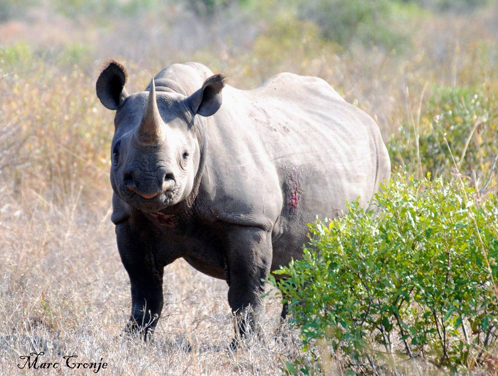 Black rhino with sore. This is  possibly a condition called Filariasis, caused by a parasite. The condition seems to be more prevalent in black rather than white rhinos. Image: ©Marc Cronje, Independent Field Guide. South Africa.