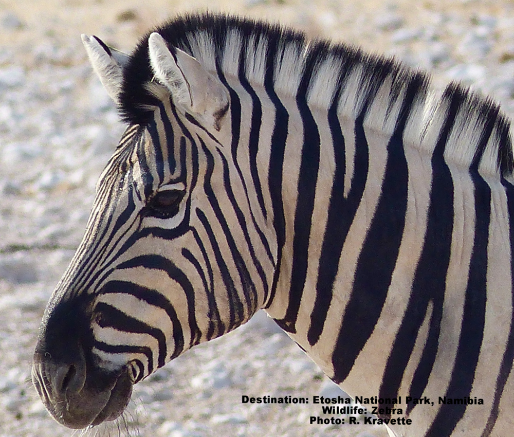 Scientists believe a baby zebra imprints on the very unique stripes of its mother during the first week of its life. Plains zebra. Image: ©R. Kravette