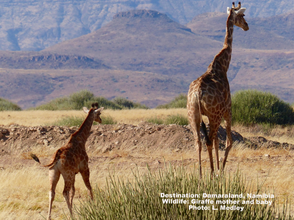 Responsible wildlife tourism can bring economic benefit to areas where the giraffe still lives. Let's be part of the solution: Visit the giraffes. The experience will be life changing for both of you.  Destination: Palmwag Concession, Damaraland, Namibia (mosquito free - family friendly) Image: ©L. Medley