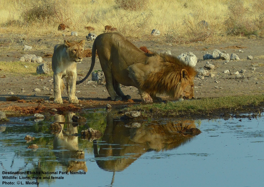 We counted 17 lions in this pride, including 2 huge males and 5 cubs. Just finishing up a kill, they were all lounging around this waterhole. Destination: Etosha National Park. Image  ©  L. Medley.