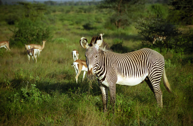 Grevy's Zebra Identification: 1. White belly 2. Thin delicate stripes with no shadow between. 3. Big ears! 4. Chestnut and white patch on muzzle, black nose.  Destination: Samburu district, Kenya Image:  ©Nyiragongo70⎮Dreamstine.com
