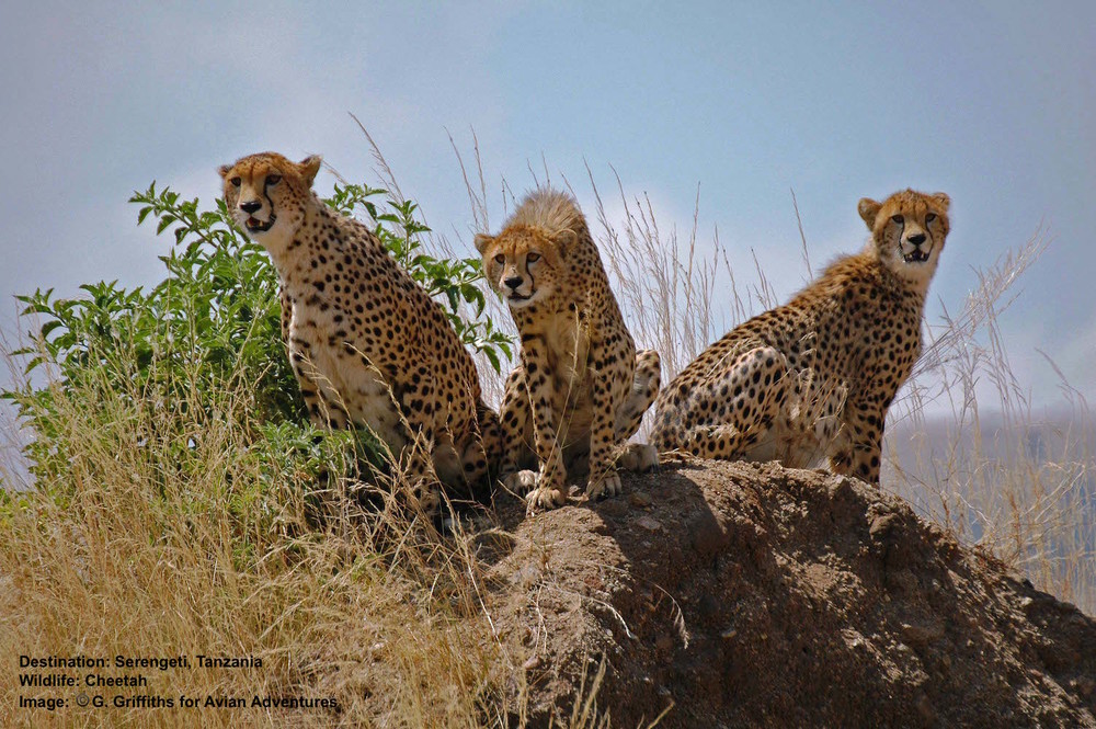 Tanzania's Serengeti is famous for their migrating wildebeest and zebras. And where there are large groups of prey animals, predators, like these endangered cheetah, are sure to follow. Image: G. Griffiths  Avian Adventures .