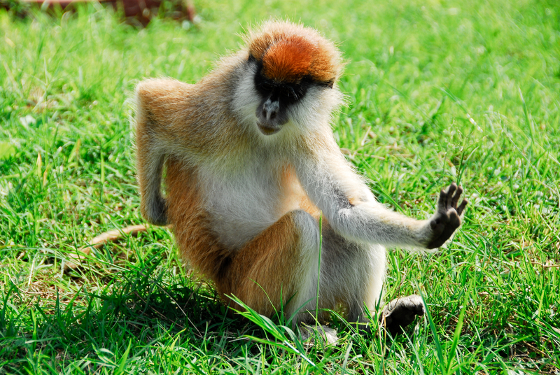 The patas monkey lives in dry, semi-arid regions like Uganda's Kidepo National Park. They are fast runners because of their especially long limbs and short digits. Image  ©Albertloyo⎮Dreamstime.com