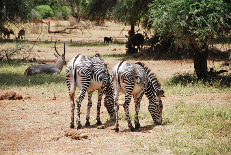 Grevy's zebra is noted for its beautiful coloring - their stripes are thin and delicate and especially evident on their flanks. Their bellies are pure white. Image:  ©Ciolca⎮Dreamstime.com