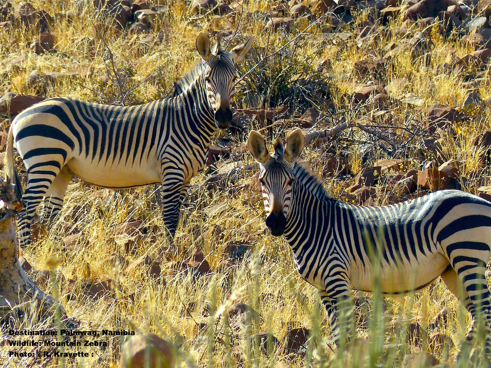 Mountain Zebras have distinct white bellies - with a dividing line. They have a brown patch on their nose and stripes all the way down to their hooves. Image: R.Kravette Destination: Palmwag, Namibia.