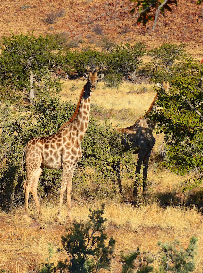 We saw lots of giraffe including some very young ones around the  acacia trees growing along the trickle of river in the Palmwag Concession lands around the lodge.  Image: R. Kravette
