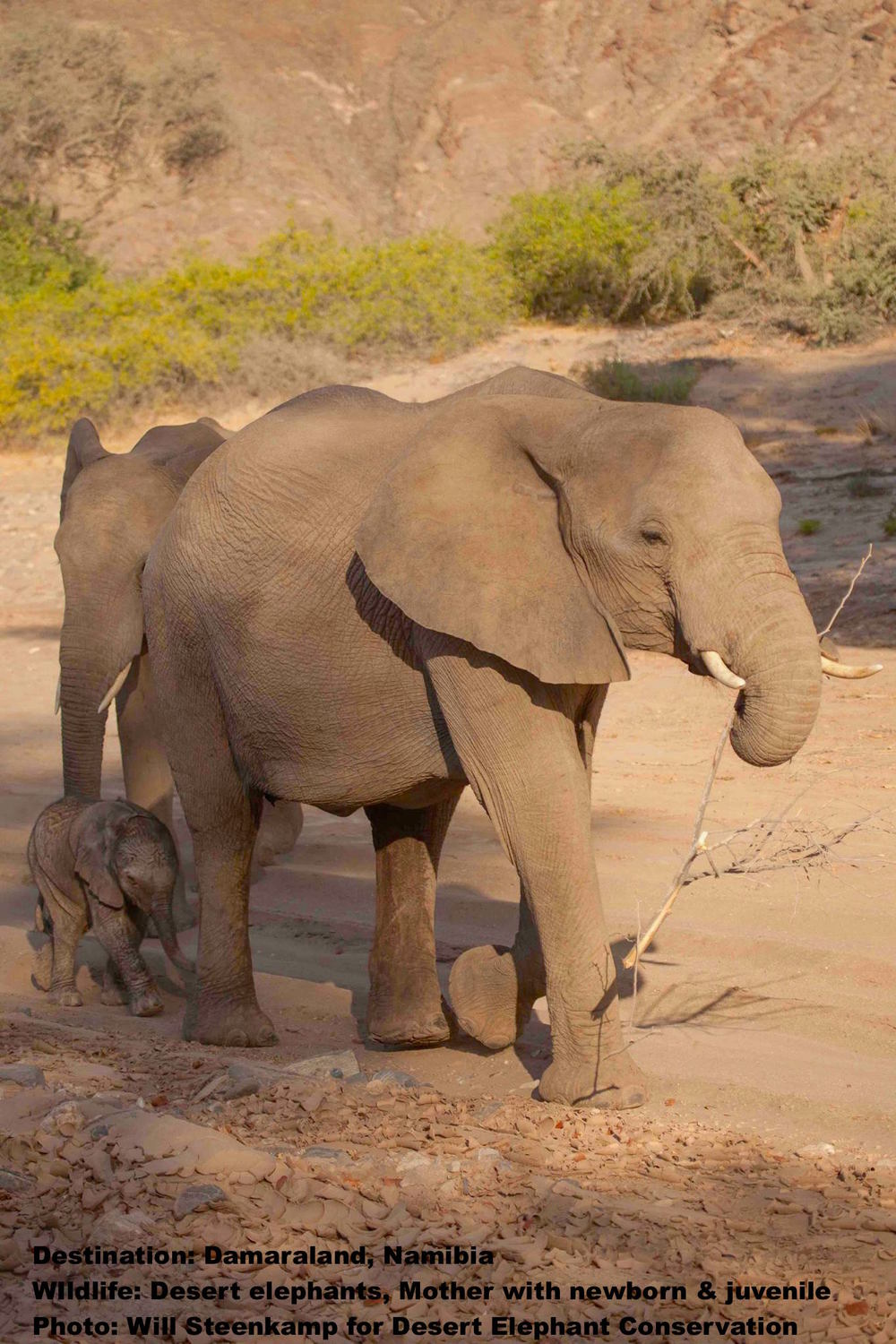 This desert elephant baby will drink far less, grow taller, and migrate further (usually at night) than its savanna cousins. It will learn to negotiate loose sand, and sharp, rocky inclines and develop a taste for myrrh - if it survives at all. Image: Dr. Laura Brown for Desert Elephant Conservation.