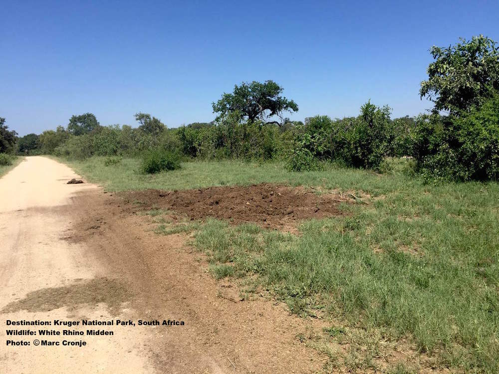 White rhino midden. Both African Rhino species mark territories with community middens or dung heaps that can become quite huge. Note how it is scraped onto the road. Image: Marc Cronje, Independent Field Guide. Destination: Kruger N.P. South Africa.