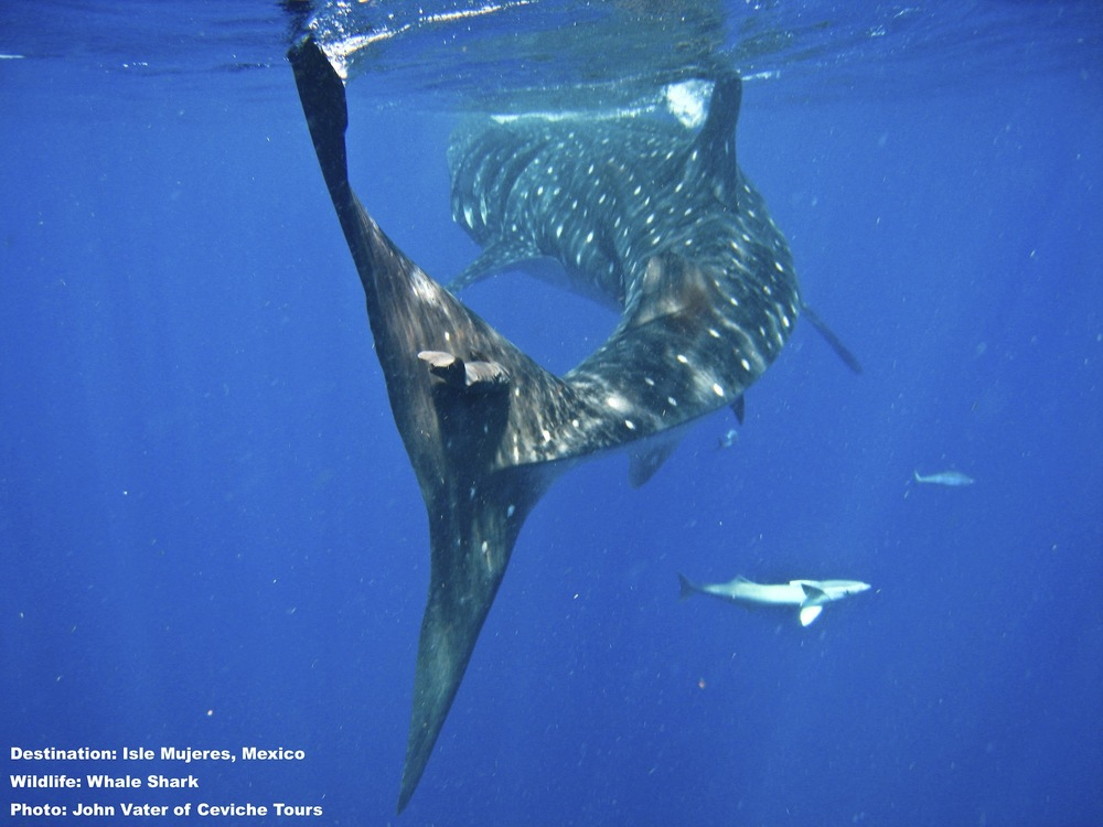 Don't let him get away!Come swim with these wonderful creatures and spread the word: They may be HUGE - but without us - they are helpless to save the oceans and themselves. Image: Thanks to John Vater, Civiche Tours, Isla Mujeres, Mexico