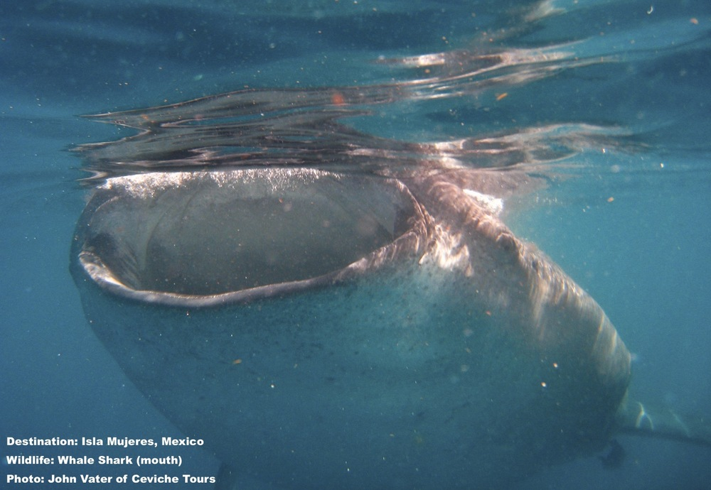 The mouth of an adult whale shark can be 5 feet (1.5 meters) across, but their esophagus is small, if swallowed you will be spit out - but best not to get that close. Image: John Vater, Ceviche Tours, Isla Mujeres, Mexico.