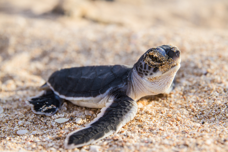 Baby green sea turtle hatchling making his way to the sea. Ningaloo Beach, Australia. Image:  ©Bluemediaexmouth⎮dreamstime.com