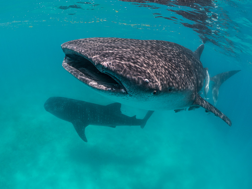 Whale Sharks feed on plankton, krill, and fish spawn on the surface of the ocean - however, they also dive deeper than divers can follow. Image: Simon J. Pierce,  www.simonjpierce.com