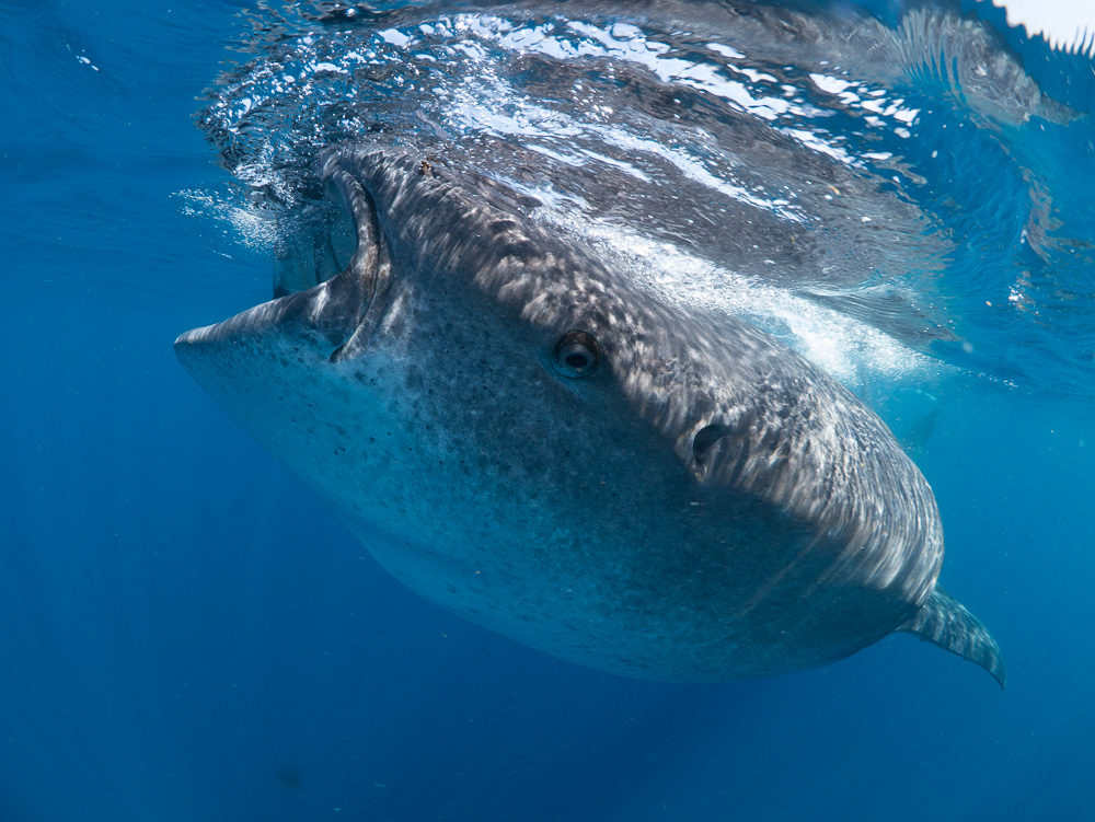 Whale shark eyes, although small, can close, rotate and even be pulled back into their heads. They have a mirror behind their retina, like cats, which help see them in low light. Image thanks to Simon J. Pierce PhD, Scientist and  marine life photographer.