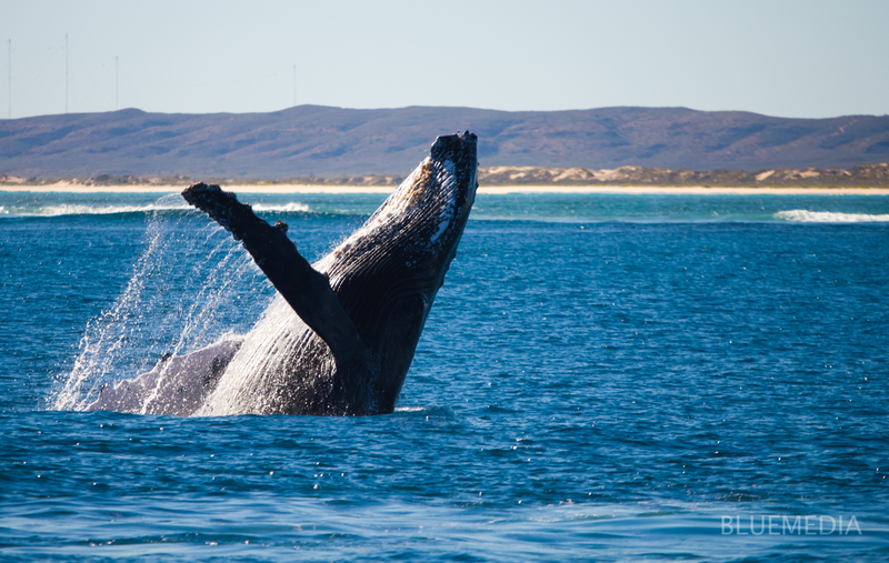 Humpback whales, also great migrators, find their way to the Ningaloo coast from June to November.  ©Bluemediaexmouth⎮Dreamstime.com