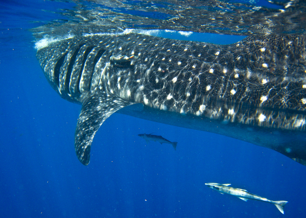 Wildbook for Whale Sharks  turns a vacation into citizen science adventure - and it is fun, too! Image: John Vader, Ceviche Tours, Isla Mujeres, Mexico.