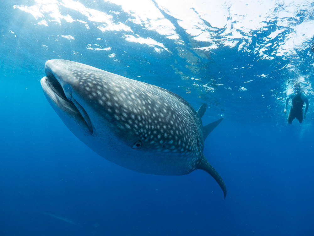 Whale sharks migrate extensively. Love snorkeling in tropical waters? Start a whale shark sighting life list. Image: Simon J. Pierce lead scientist for the Marine Megafauna Foundation and marine photographer.