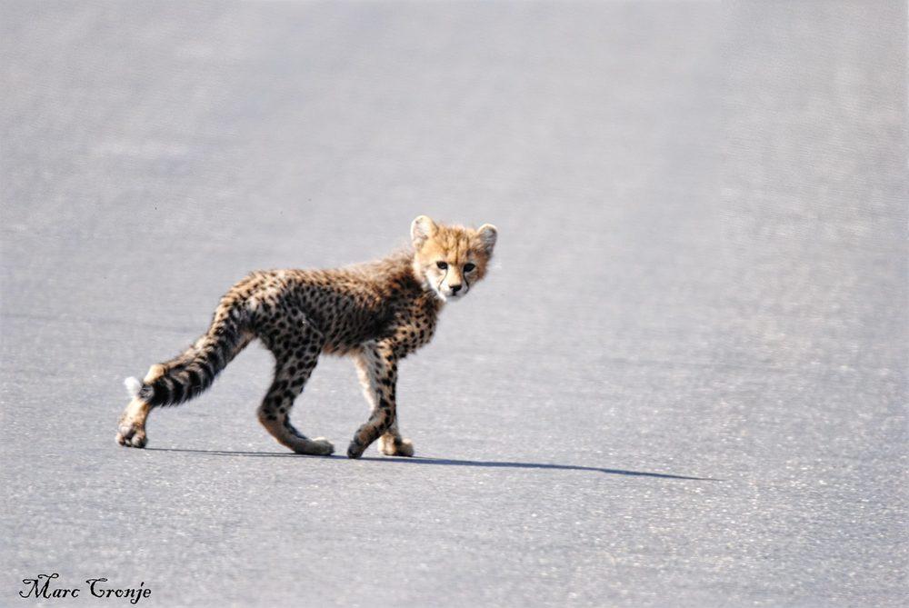 Cheetah cub 2 13268292_10209330158354561_5123871489459081285_o.jpg