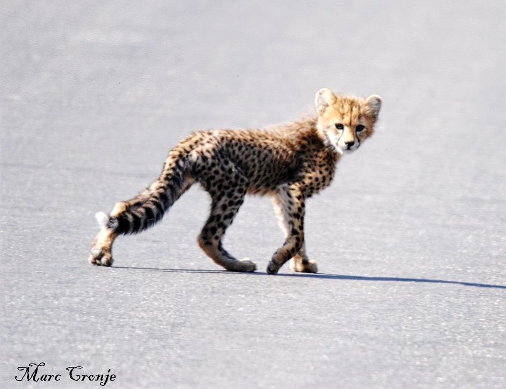 Cheetah cub 2 13268292_10209330158354561_5123871489459081285_o (1).jpg