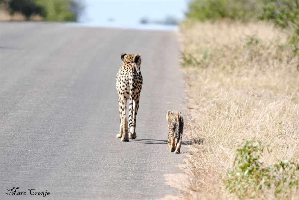Cheetah & cub 2 13246267_10209330158794572_3520196578166807211_o.jpg