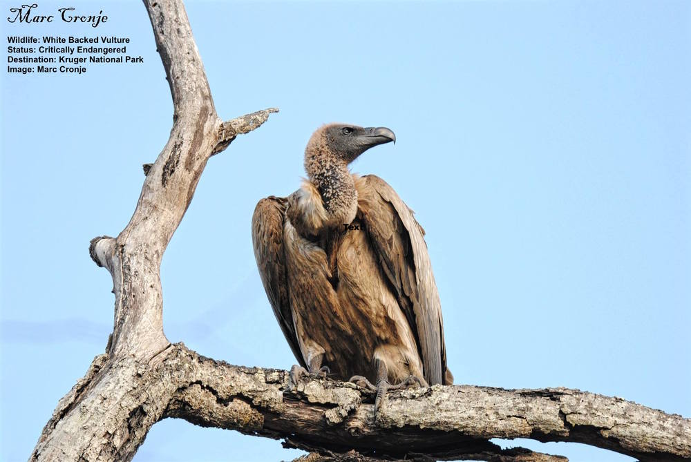 MC White backed vulture Crit. endangered 13087138_10209165673642546_5040360639054822227_o.jpg