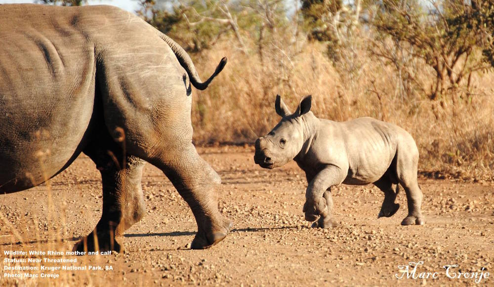 Marc's knowledge and respect of wildlife creates special opportunities for his guests, like watching this rhino mother and calf casually cross the road - directly in front of his vehicle. What species of rhino are they? White rhinos. Why? Marc explained: White rhino calves follow behind - black rhino mothers push their calves in front of them. Image: Marc Cronje, Independent Field Guide with guests on safari in Kruger National Park.