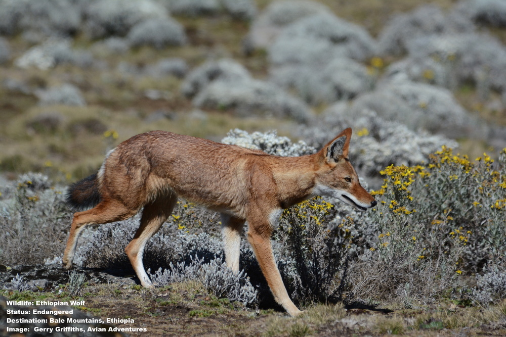 "One of the ""must-see"" species on Marc's life list is another endangered species, the Ethiopian wolf, found only in Ethiopia's Bale mountains. Image: ©Gerry Griffiths of  Avian Adventures ."