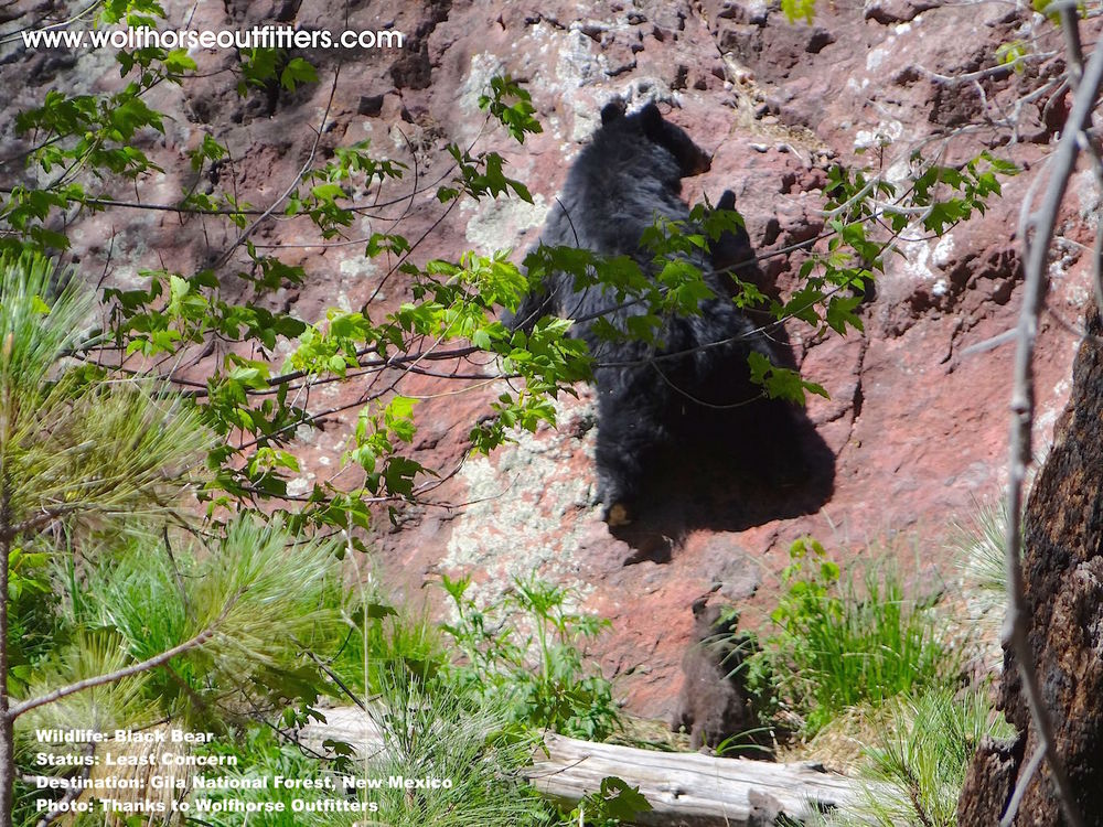 A black bear climbs the rocks at Gila National Forest in New Mexico. Image Thanks to Wolfhorse Outfitters.