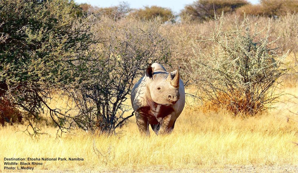 Black_Rhino_Etosha_Namibia.jpg