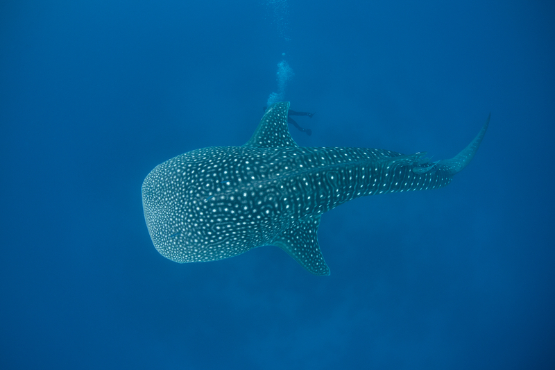 SWIMMING WITH WHALE SHARKS IS AN UNFORGETABLE AND MAGIC EXPERIENCE. BUT DO IT RESPONSIBLY. Image:  ©Ethan daniels⎮Dreamstime.com