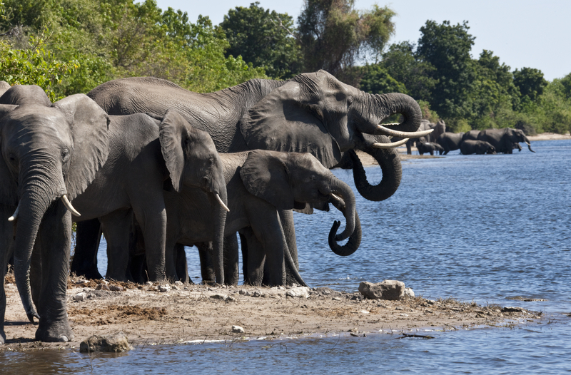 Why Chobe National Park? Elephants! The largest remaining herds in the world. Image:  ©Mrallen⎮Dreamstime.com