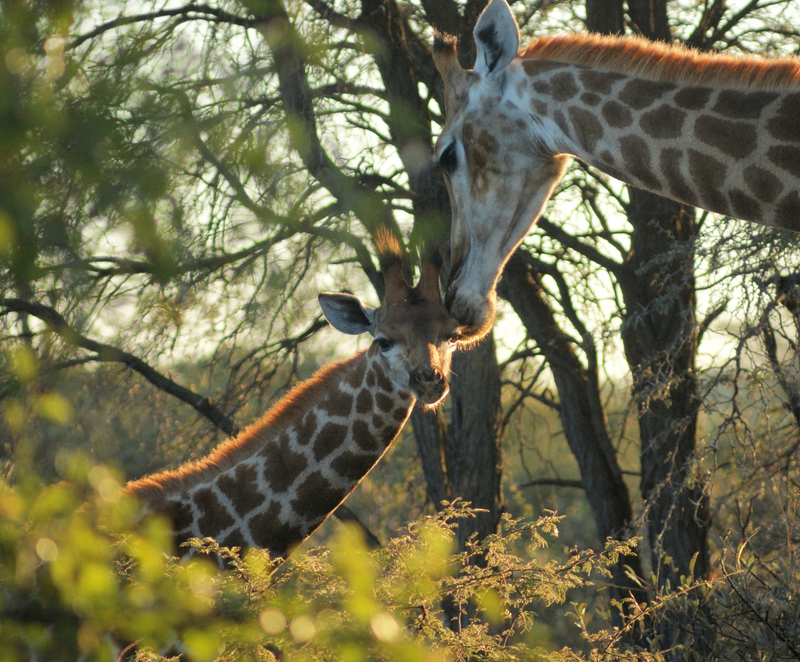 Mother and baby giraffe (calf) in the savannah forest of Savute Marsh area, Chobe National Park.  ©Prillfoto⎮Dreamstime.com