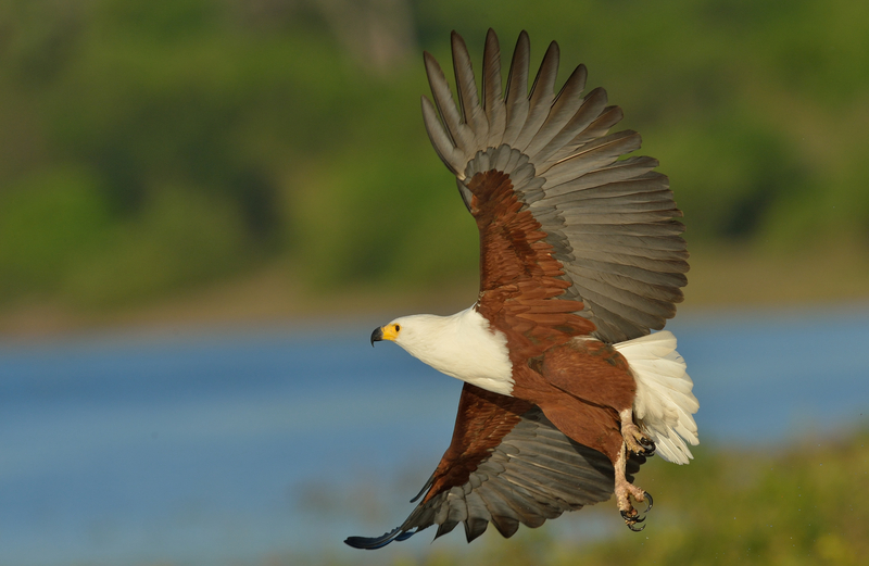 "Even if you are not a ""birder"" some of Chobe's species, like this African fish eagle, are amazing. Image:  ©Tobie1953⎮Dreamstime.com"