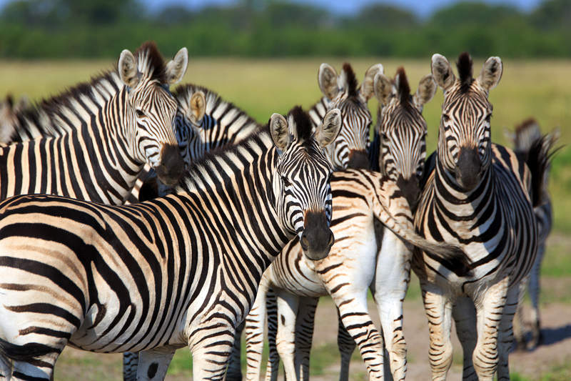 Discovered to be the  longest big mammal migration in Africa  : Zebras travel 300 miles (483 km) from namibia to Botswana - and right through Chobe. See them at the Savute marsh area.  Image:  ©Ea-4⎮Dreamstime.com
