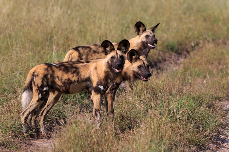 Chobe national park is one of the last places to see endangered African painted dog. Image: ©Ea-4⎮Dreamstime.com