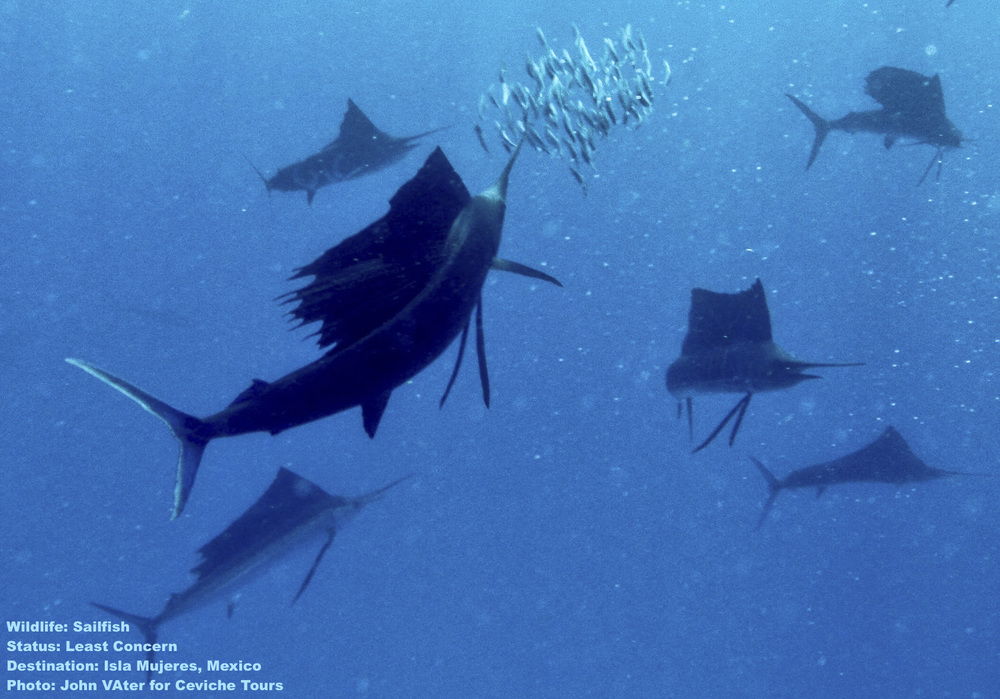 "A school of sailfish feeds on a ""bait ball"" of small fish in the waters off Isla mujeres, Did you know that you can swim with sail fish too? Image: John Vater of Ceviche Tours, Isla Mujeres, Mexico."