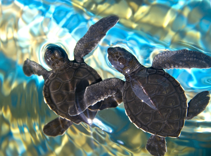 Newly hatched sea turtles make for open ocean. It may be off-peak for tourists, but May through December is prime sea turtle nesting (and hatching) season - and a great time to visit isla Mujeres. Image:  Polina ©RAzazantzeva⎮Dreamstime.com