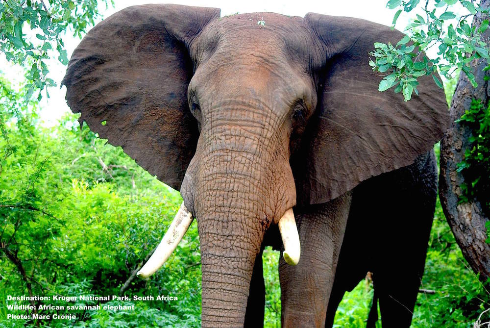 "Elephants like this big guy make roam all through Kruger, but there were 7 who were famous. See the tusks of 6 of the ""Magnificent Seven"" big tuskers, at the Leteba Elephant Museum  (North region)  Image: Marc Cronje, Independent Field Guide"